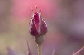 rose-898129__180
